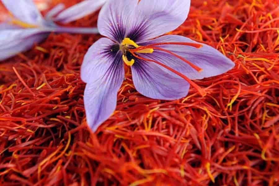 What is Crocus sativus